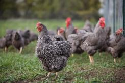 1-a-barred-plymouth-rock-chicken-free-joel-sartore