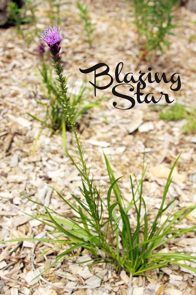 Blazzing Star