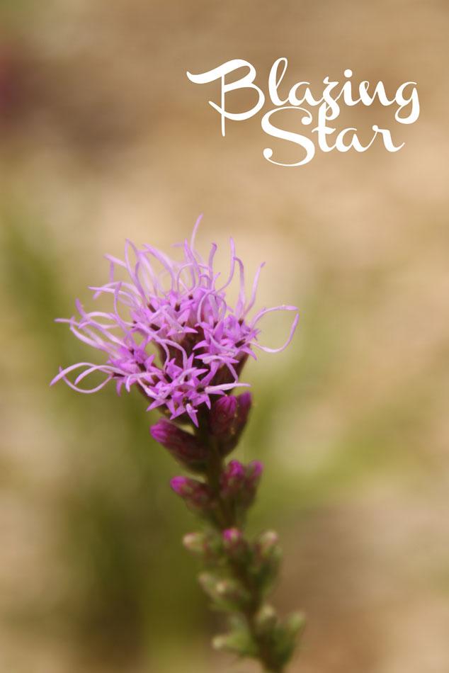 Blazing-Star2