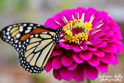 monarch zinnia copy