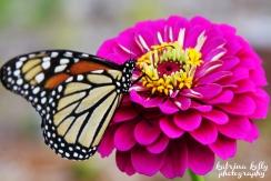 monarch zinnia copy