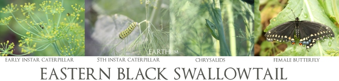 black-swallowtail-stages-webbook