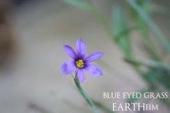 blueeyedgrass-webbook
