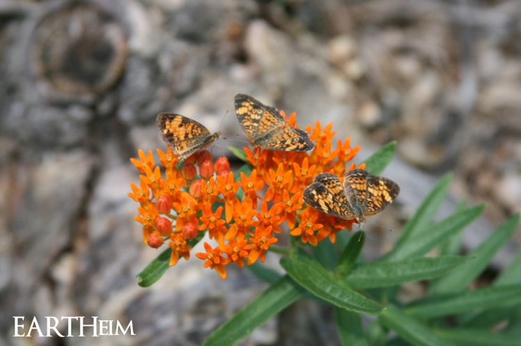 Butterfly Milkweed with 3 Pearl Crescents