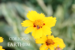coreopsis-webook