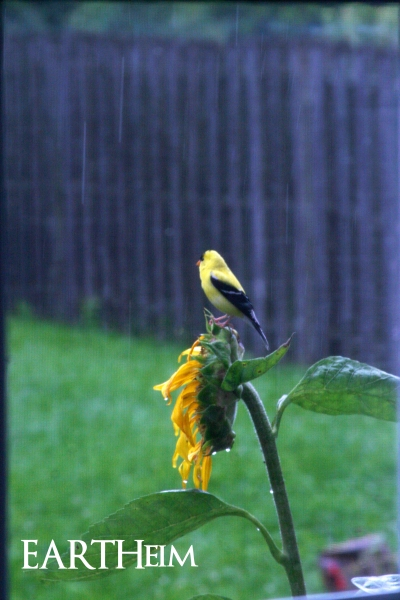 Male Goldfinch on Sunflower in Rain