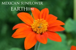 Mexican Sunflower- annual