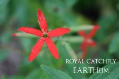 Royal Catchfly