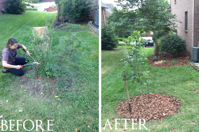 before old spirea, after dogwood