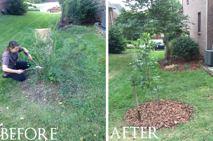 before old spirea, after dogwood