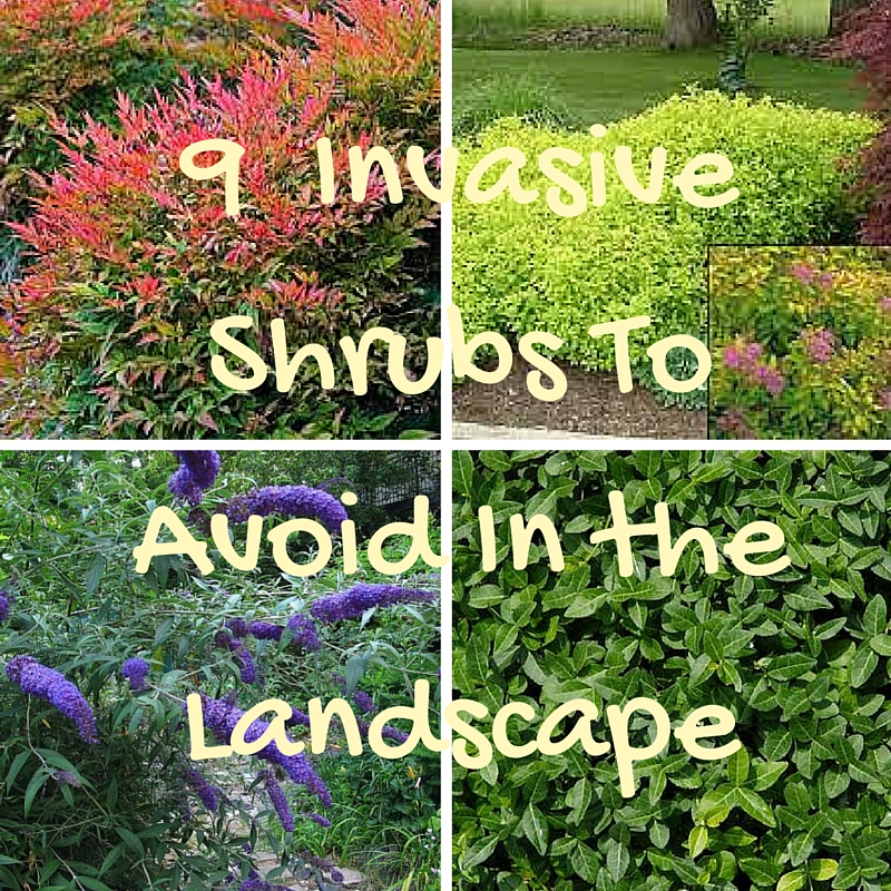 9 Invasive Shrubs To Avoid In The Landscape Eartheim Landscape