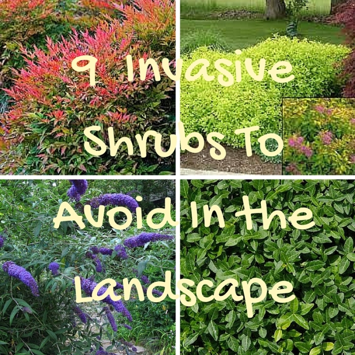 9 InvasiveShrubs ToAvoid In theLandscape