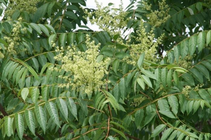 ailanthus-altissima-fl-atal-d