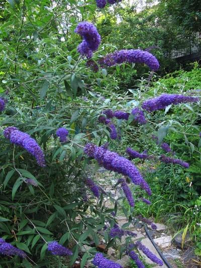 butterfly-bush1-400x533