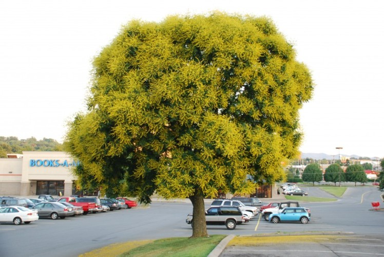 golden-rain-tree-other-01-e1404172602869