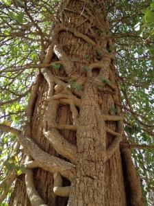 monticello ivy 1