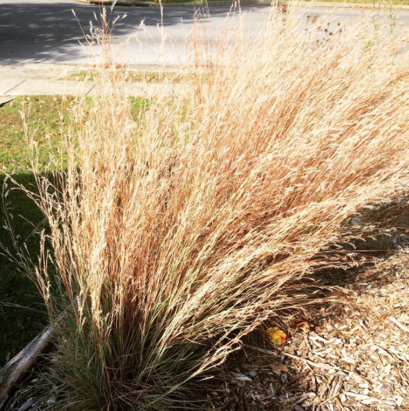 Little Bluestem turned to its golden color of fall