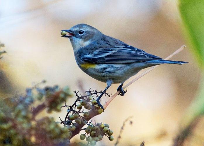 From BirdWatching. com