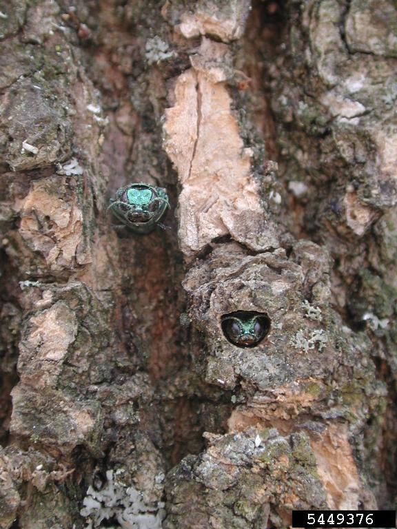 http://www.arinvasives.org/potential-invaders-of-arkansas/emerald-ash-borer/