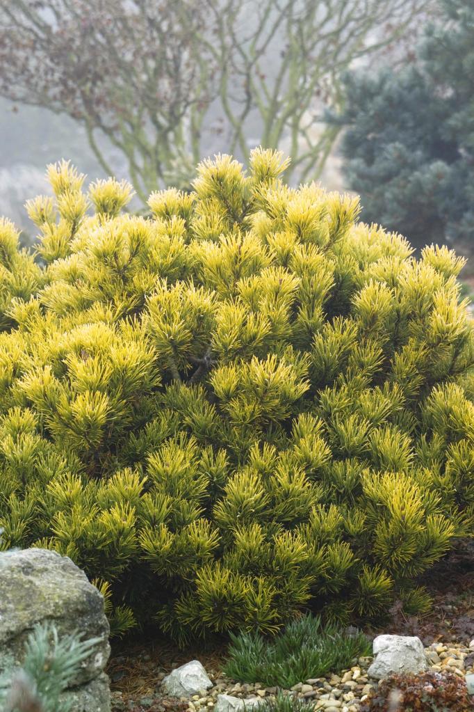 http://www.monrovia.com/plant-catalog/plants/3415/carstens-wintergold-mugo-pine/