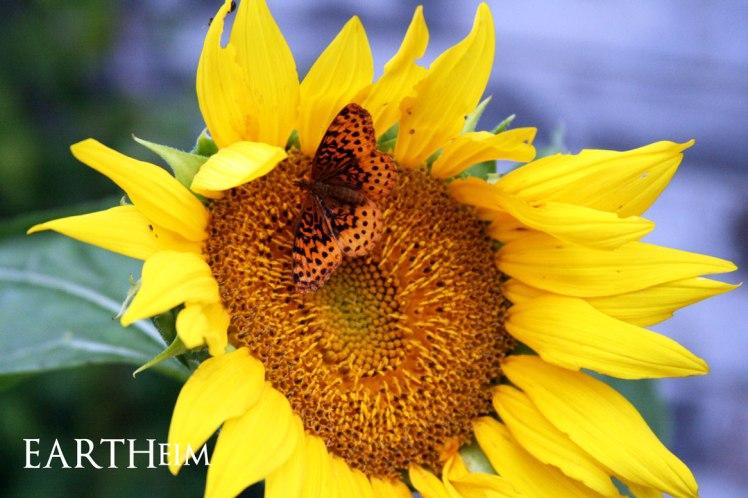 Fritillary Butterfly on Sunflower