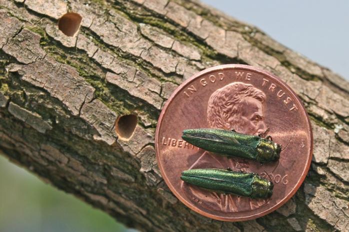 http://www.ci.lenexa.ks.us/parks/trees_ashwalnut.html