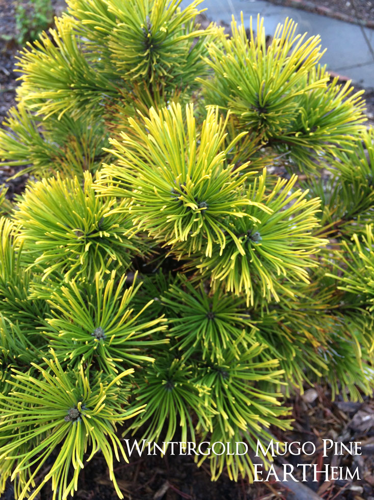 Wintergold Mugo Pine