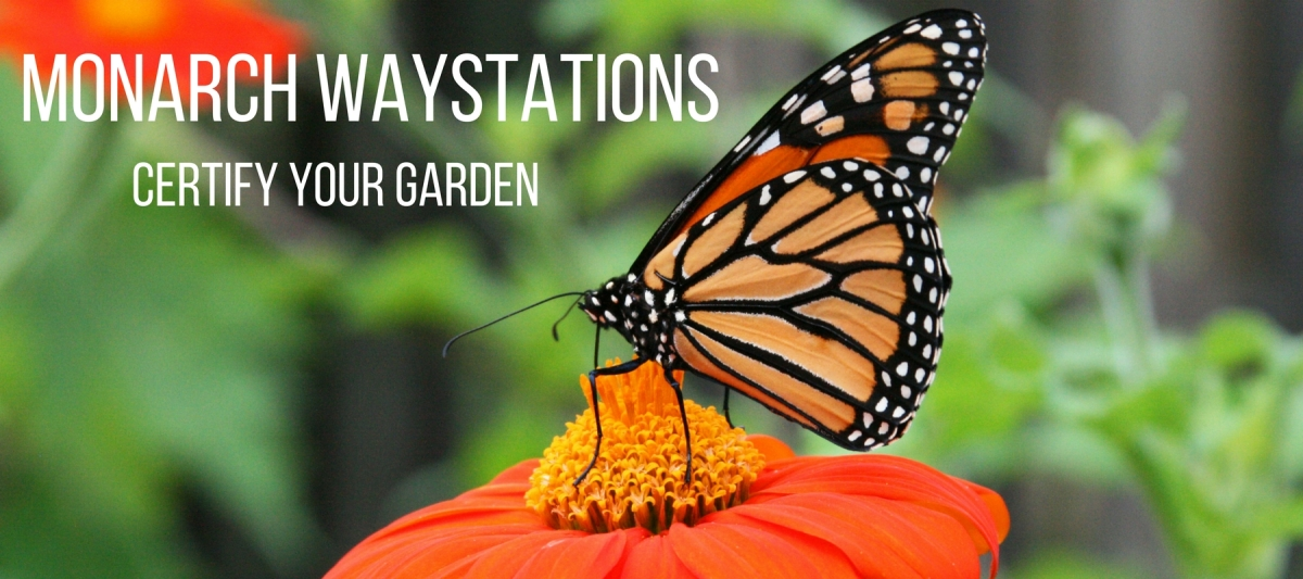Certify Your Garden as a Monarch Waystation
