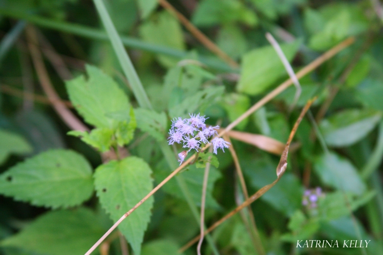 mist-flower
