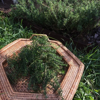 Pruning winter savory