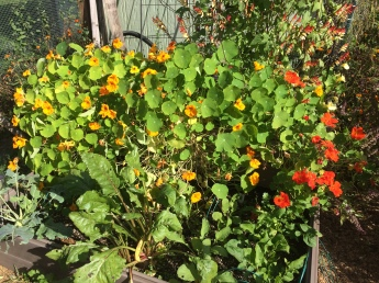 The nasturtiums went wild this year