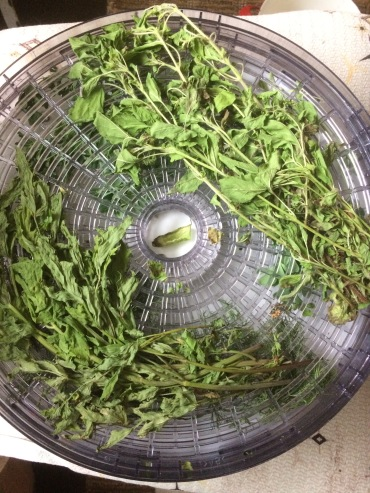 Drying lovage and tulsi