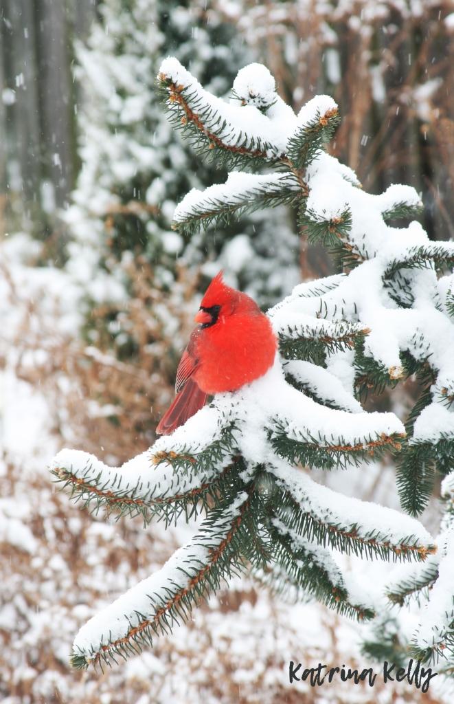 CardinalNorwaySpruce
