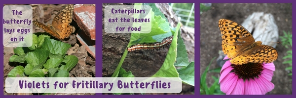 Violets for Fritillary Butterflies