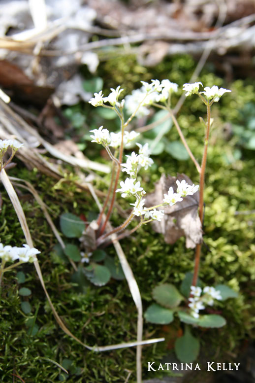 earlysaxifrage
