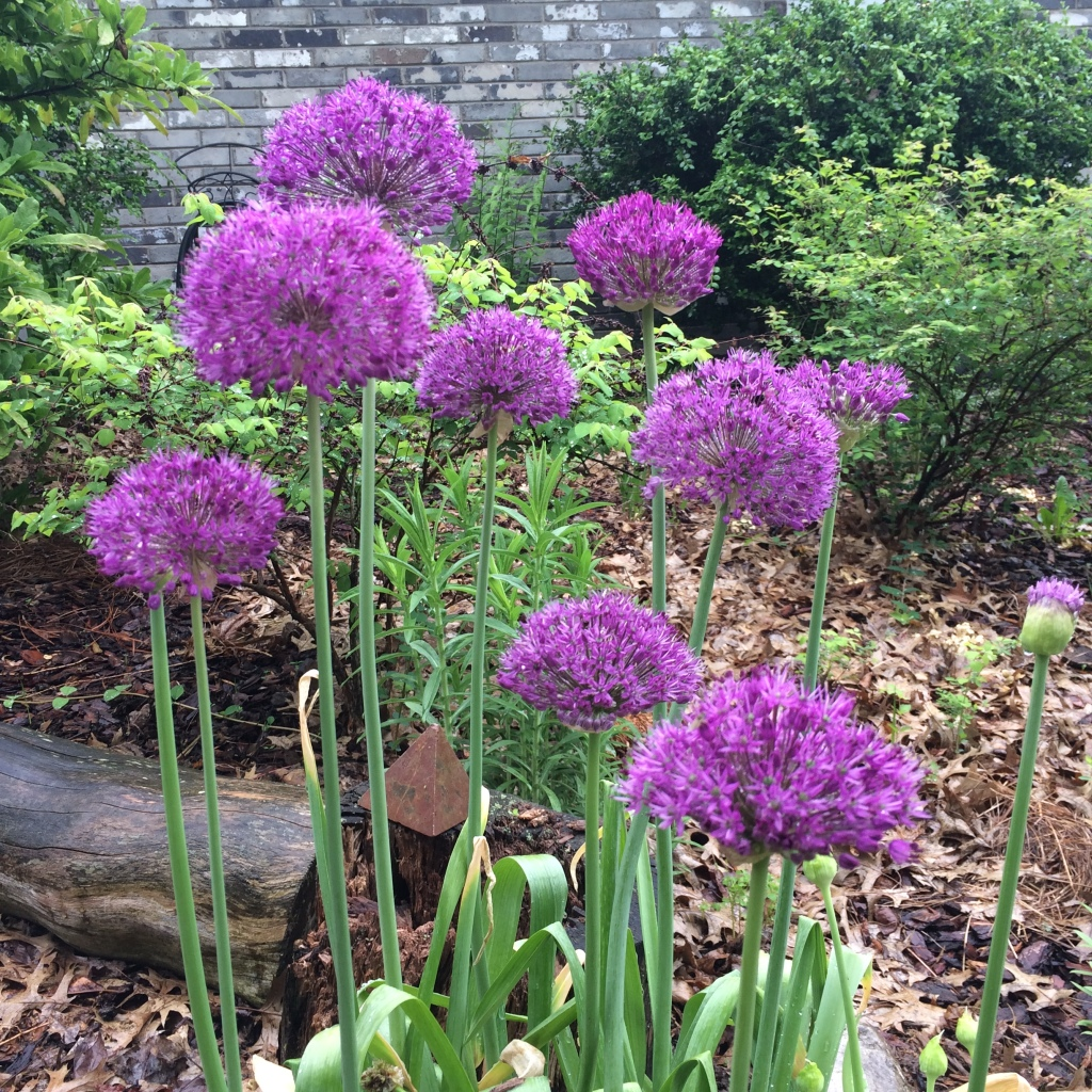 Allium Ornamental Bulbs